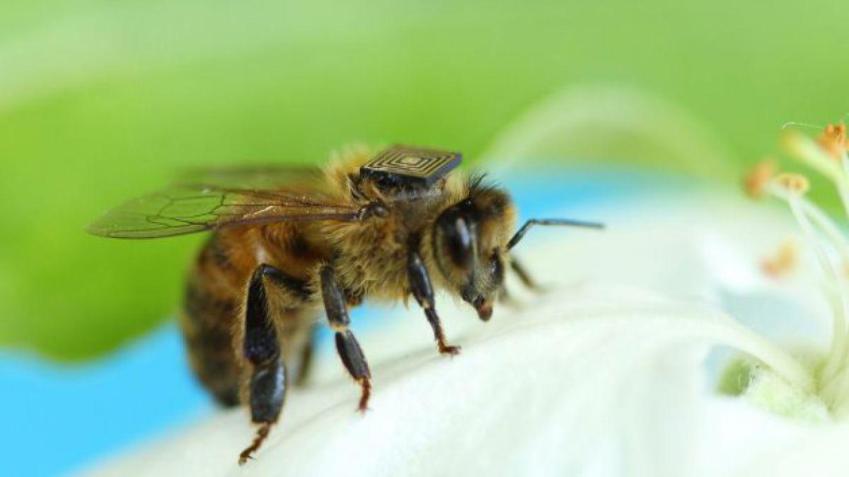 Científicos australianos crean mecanismo de estudio de abejas