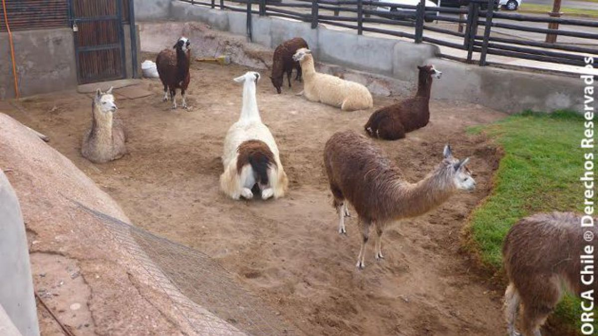 Organizaciones pro animal denuncian que municipio de Iquique no tiene plan de emergencia de zoológic
