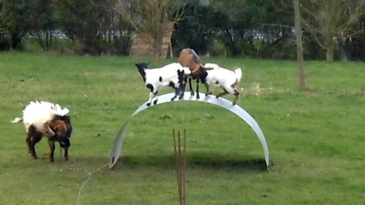 Cabras juegan a mantener el equilibrio sobre estructura flexible