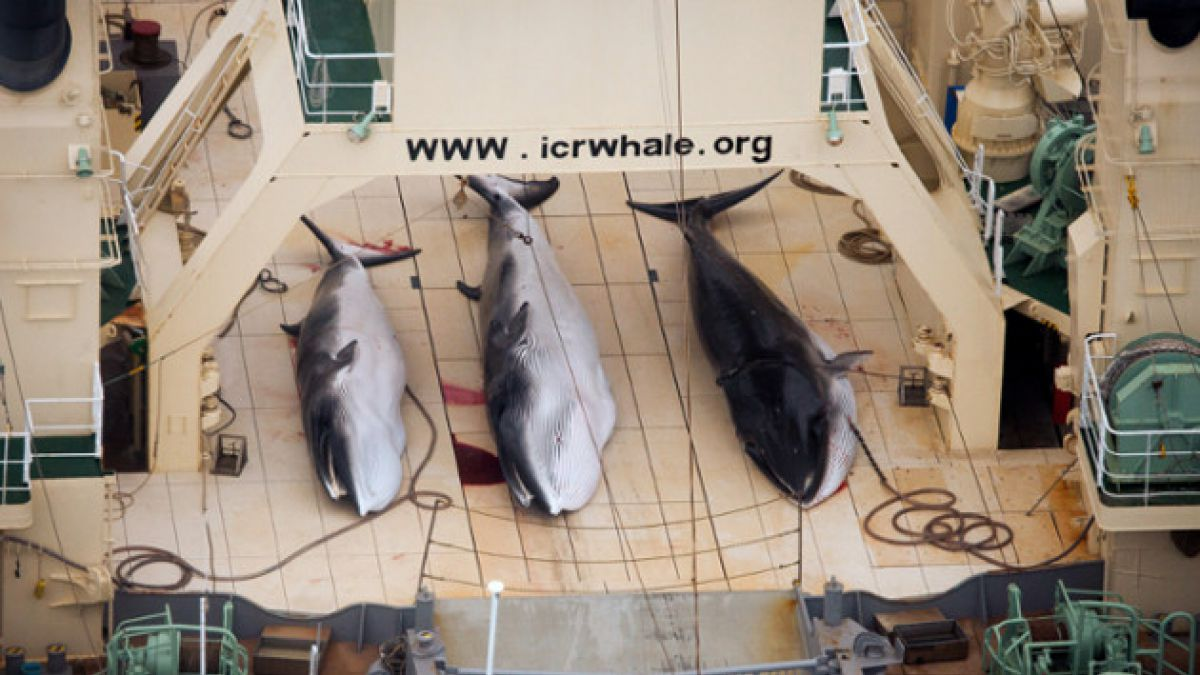 Video: Sea Shepherd es atacado por buques balleneros japoneses