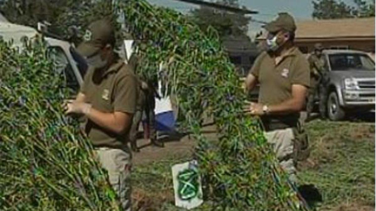 Carabineros decomisa más de 6.000 plantas de marihuana en la Región del Maule
