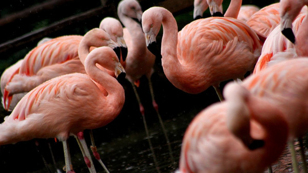 Flamencos chilenos son masacrados en zoológico de Frankfurt