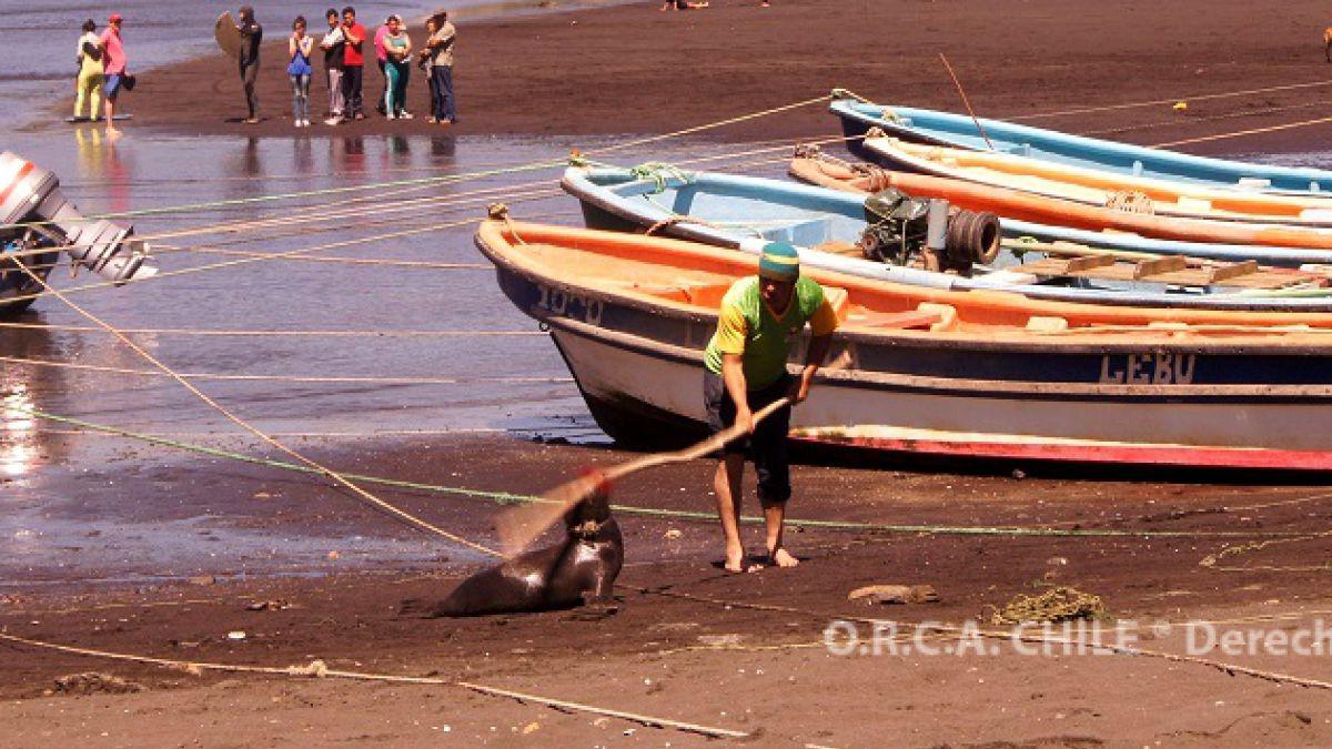 Condenan a pescador a arresto domiciliario por brutal maltrato contra lobo marino