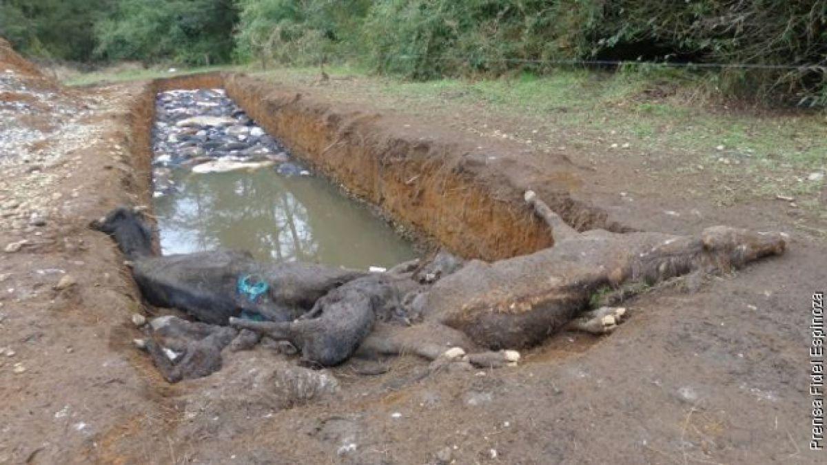 Fiscalía cuestiona trabajo del SAG en caso de matanza de terneros