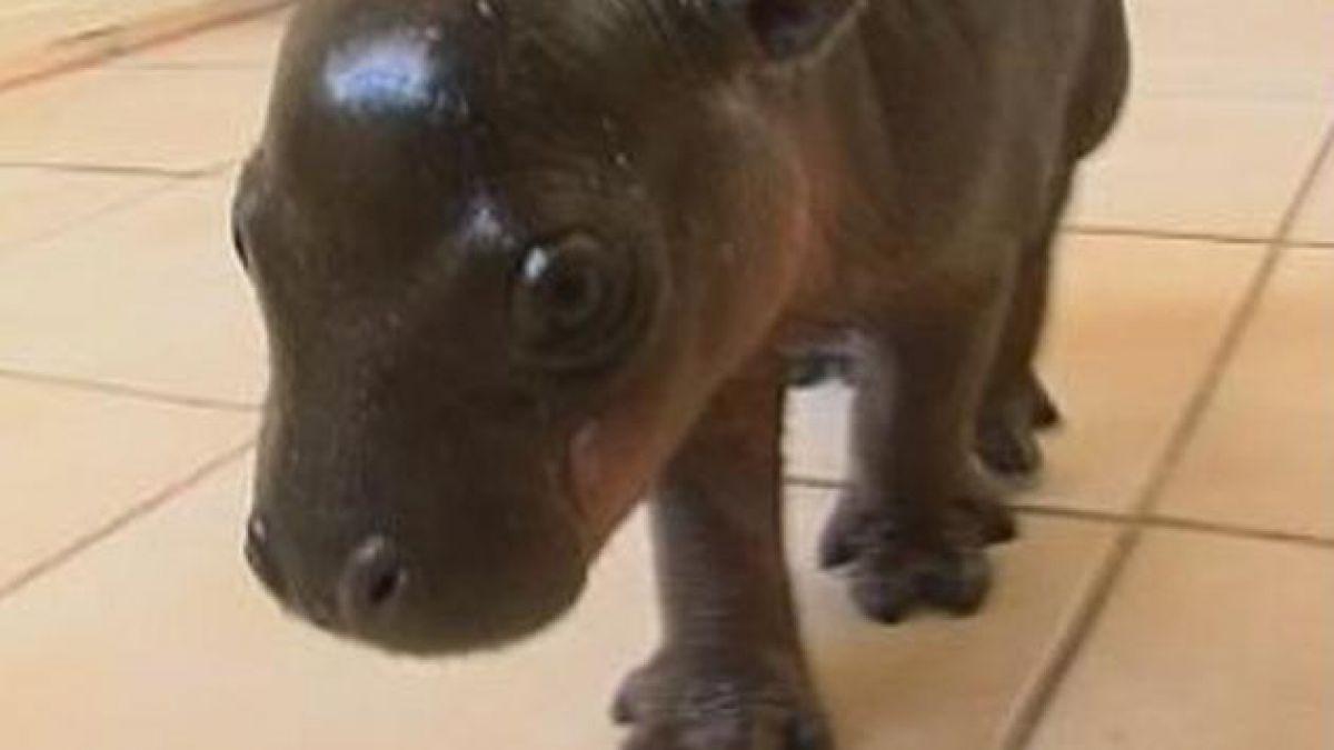 Hipopótamo pigmeo nace en Sudáfrica