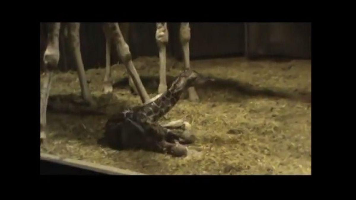 VIDEO: El nacimiento de una jirafa en España