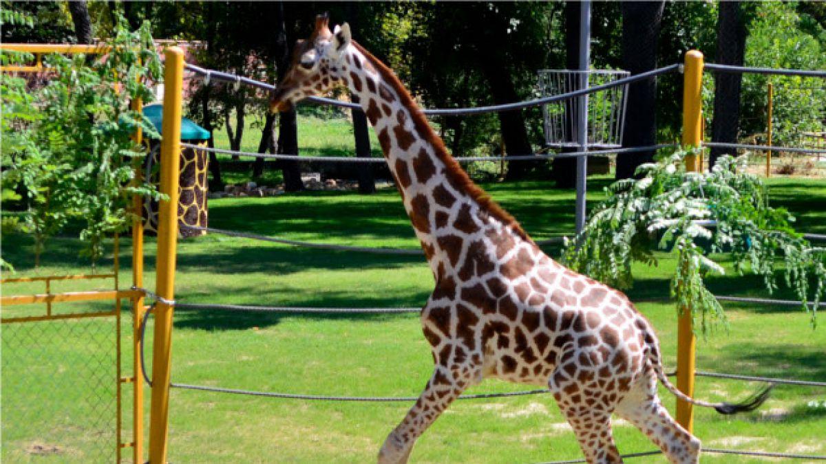 Dinamarca: Nuevamente una jirafa podría ser sacrificada