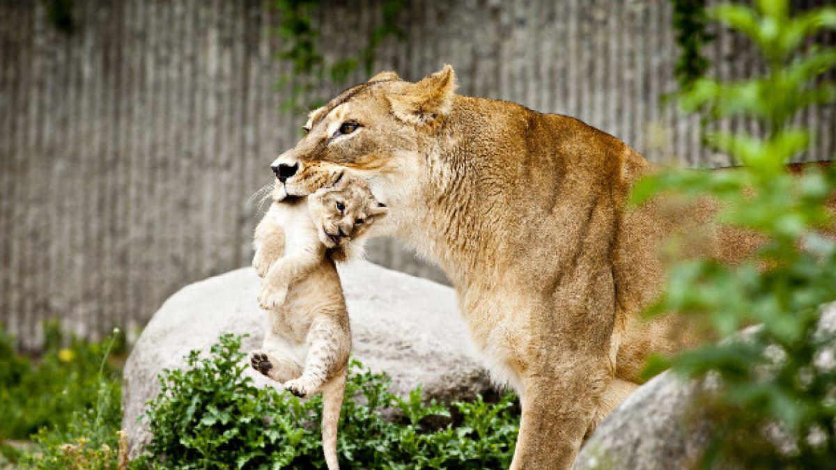 Cuestionado zoológico sacrifica a cuatro leones