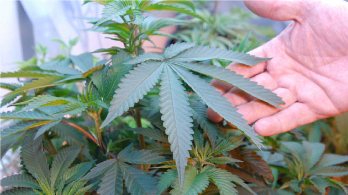 Qué cambios traerá la salida de la marihuana de la categoría de drogas duras