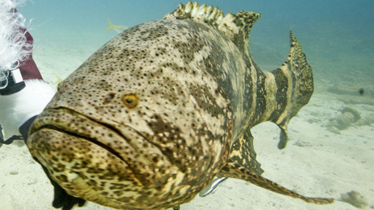 [VIDEO] EE.UU: mero gigante devora de un mordisco a tiburón de un metro y medio