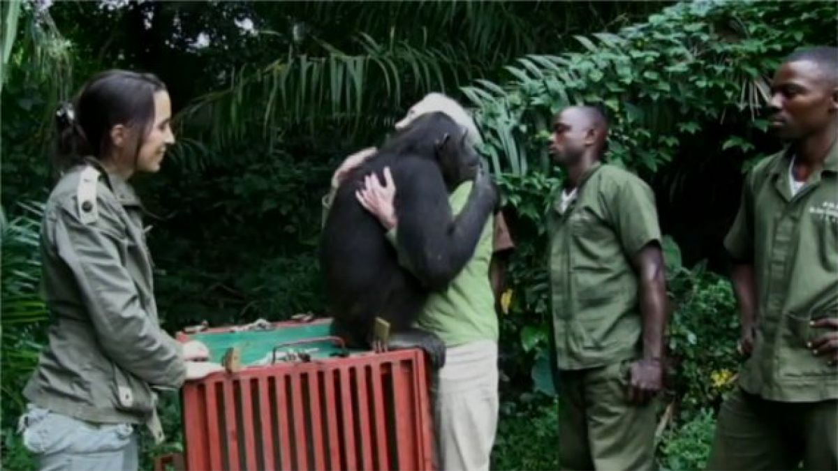 Chimpancé Wounda vuelve a la selva del Congo tras rehabilitación