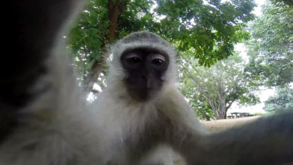 Monos curiosos intentan robarse una cámara