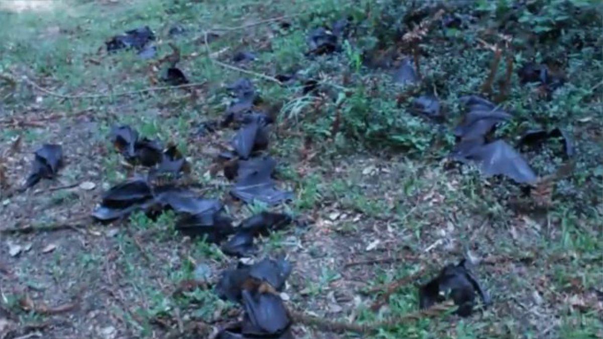 Ola de calor mata 100 mil murciélagos en Australia