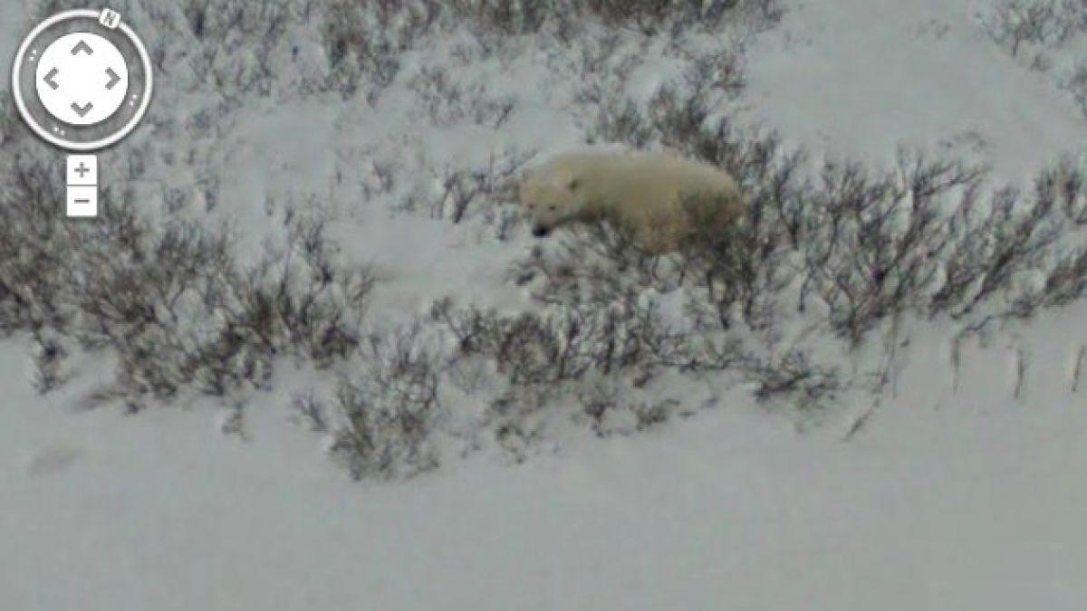 Google Maps capta imágenes de osos polares en su hábitat en Canadá