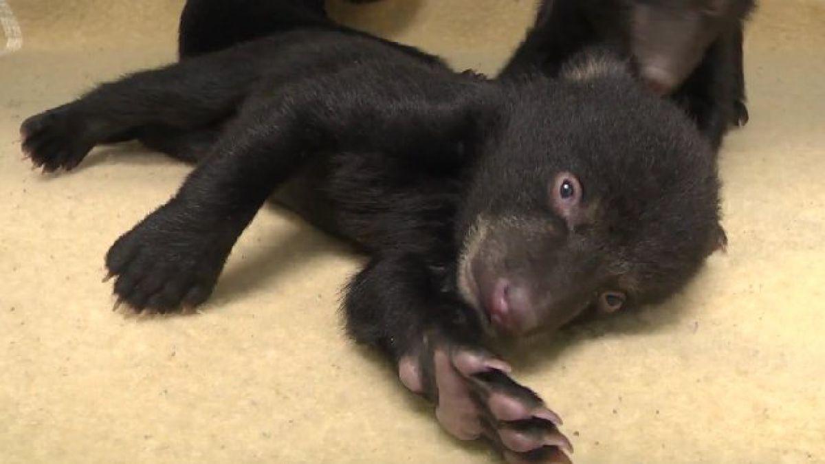 Ositos huérfanos desatan ternura en zoológico de EE.UU.