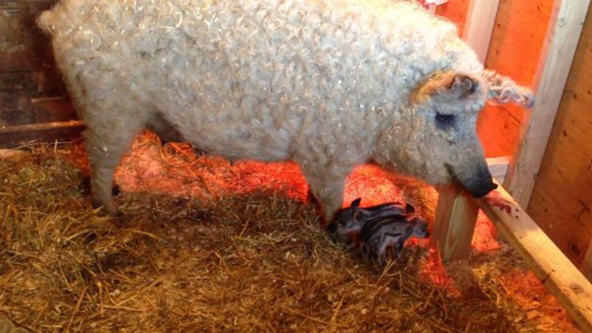 Cerdo con aspecto de oveja es completamente real