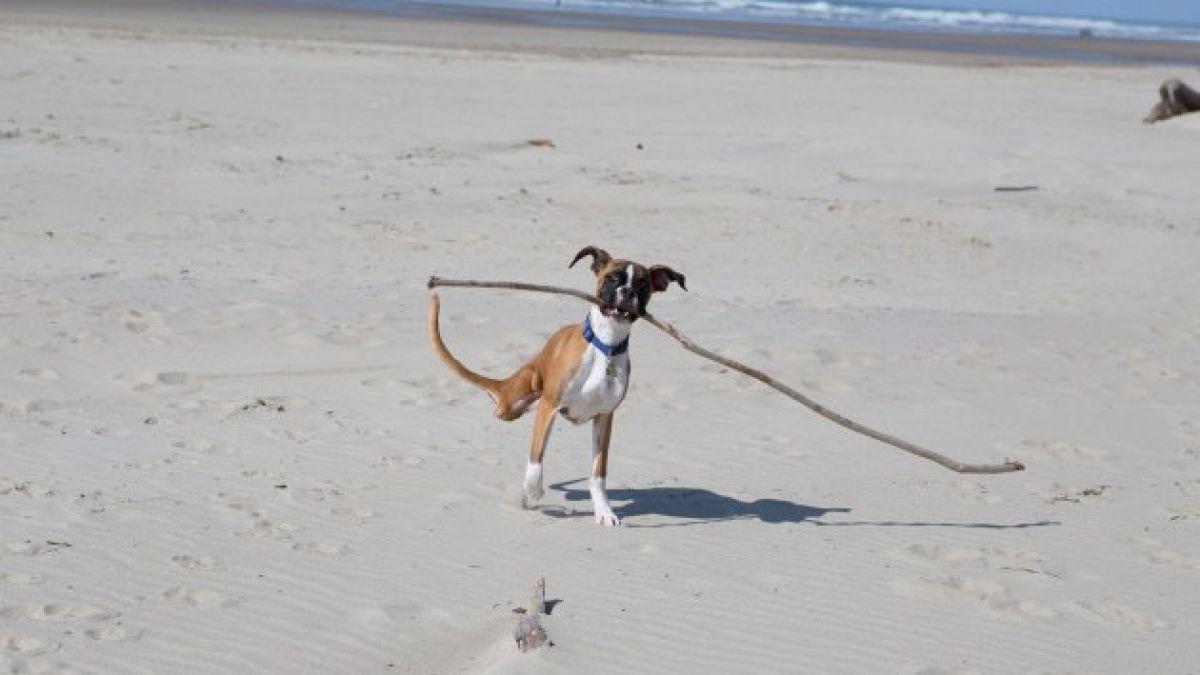 (VIDEO) Así fue la primera visita a la playa de Duncan, el perro de dos patas