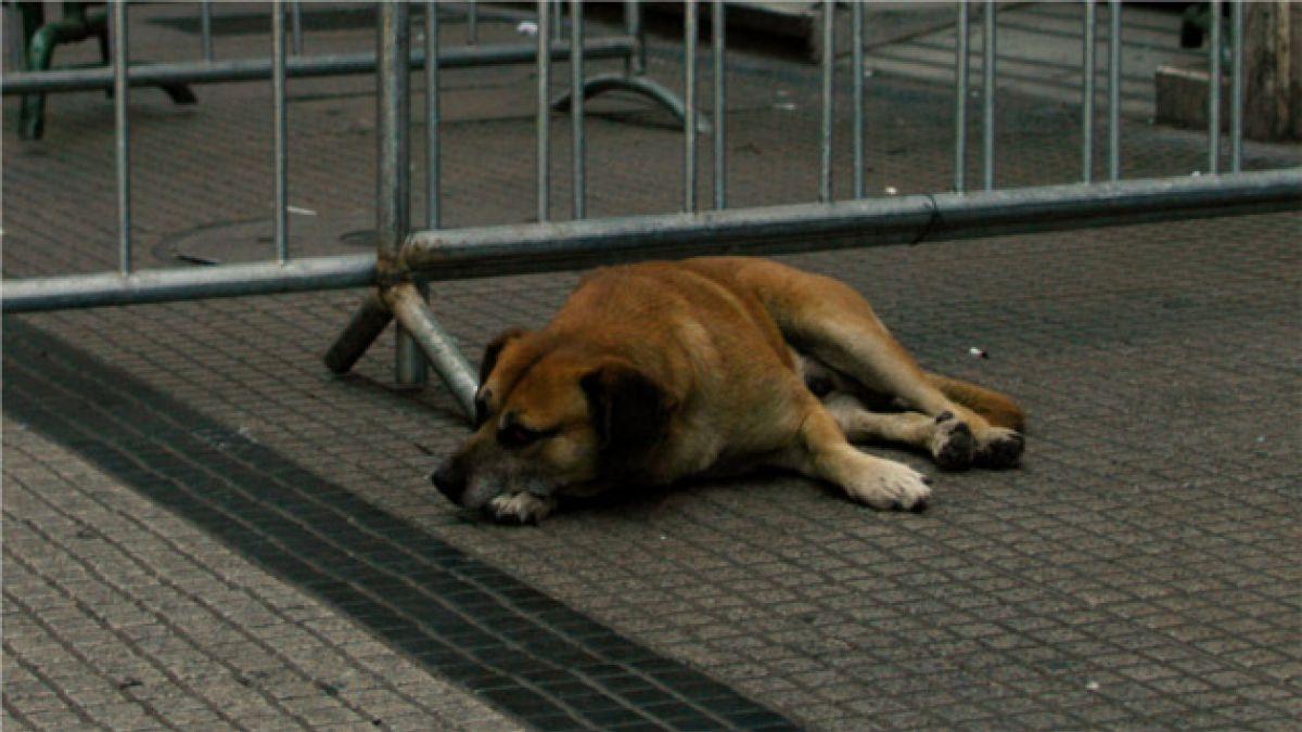 Valparaíso: Perros vagos serán encerrados hasta final del Dakar 2014