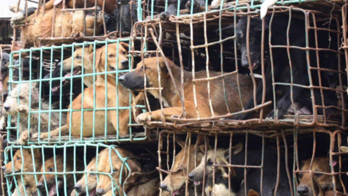 En Vietnam matan a más de 5 millones de perros al año para consumir su carne