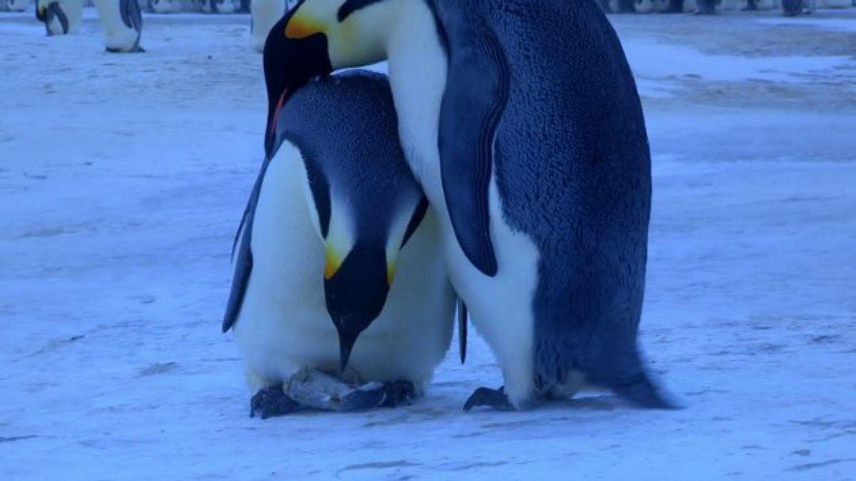 Ave logra primera filmación aérea de colonia de pingüinos de penacho amarillo