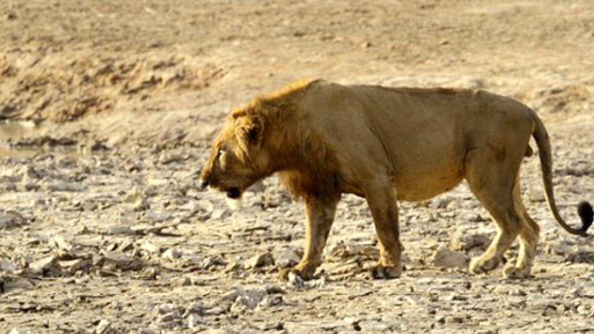 El mapa de la extinción de los leones