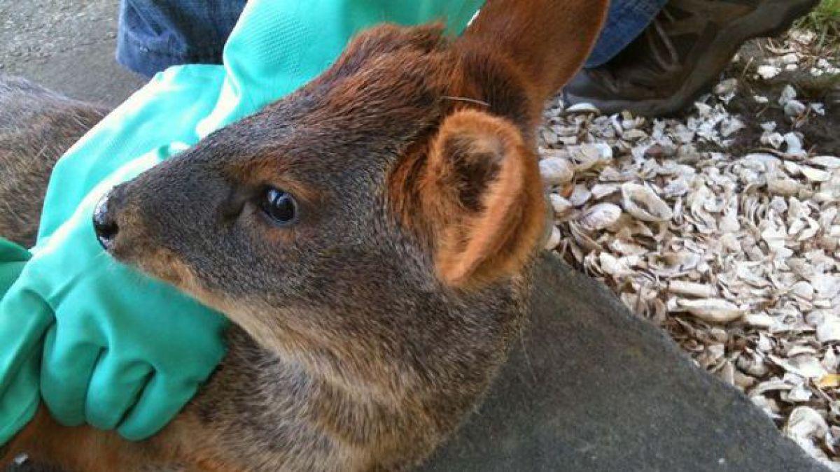 Campaña busca terminar con los atropellos de pudúes en Chiloé