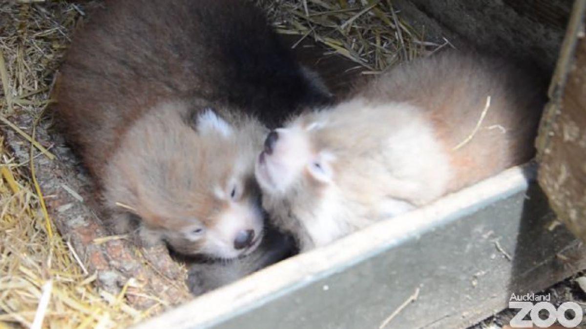 Cachorros de panda rojo nacen en zoológico de EE.UU.