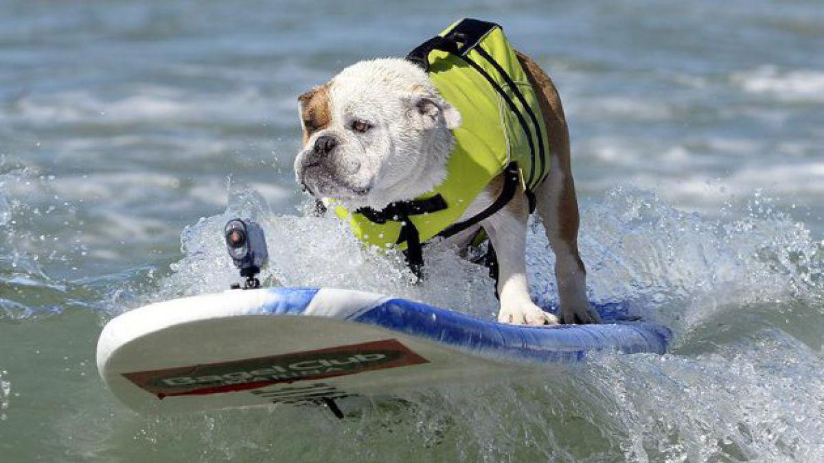En Estados Unidos realizan Semana del surf canino
