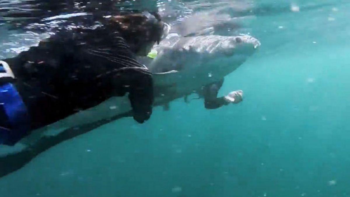 VIDEO: Tiburón tigre vuelve a la vida