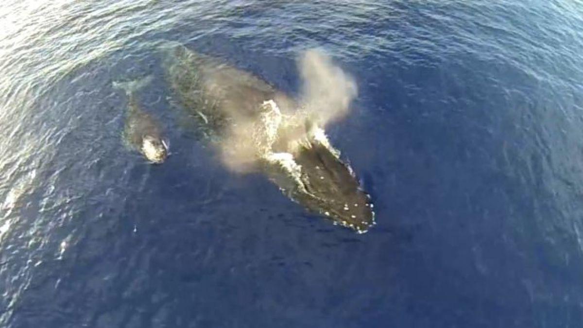 Drone capta a ballena jorobada bebé y su madre en las aguas de Maui
