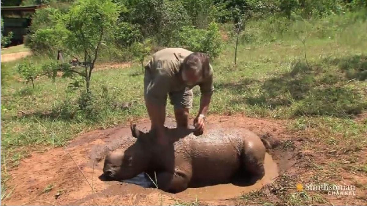 VIDEO: Rinoceronte huérfano comparte con quienes le salvaron la vida