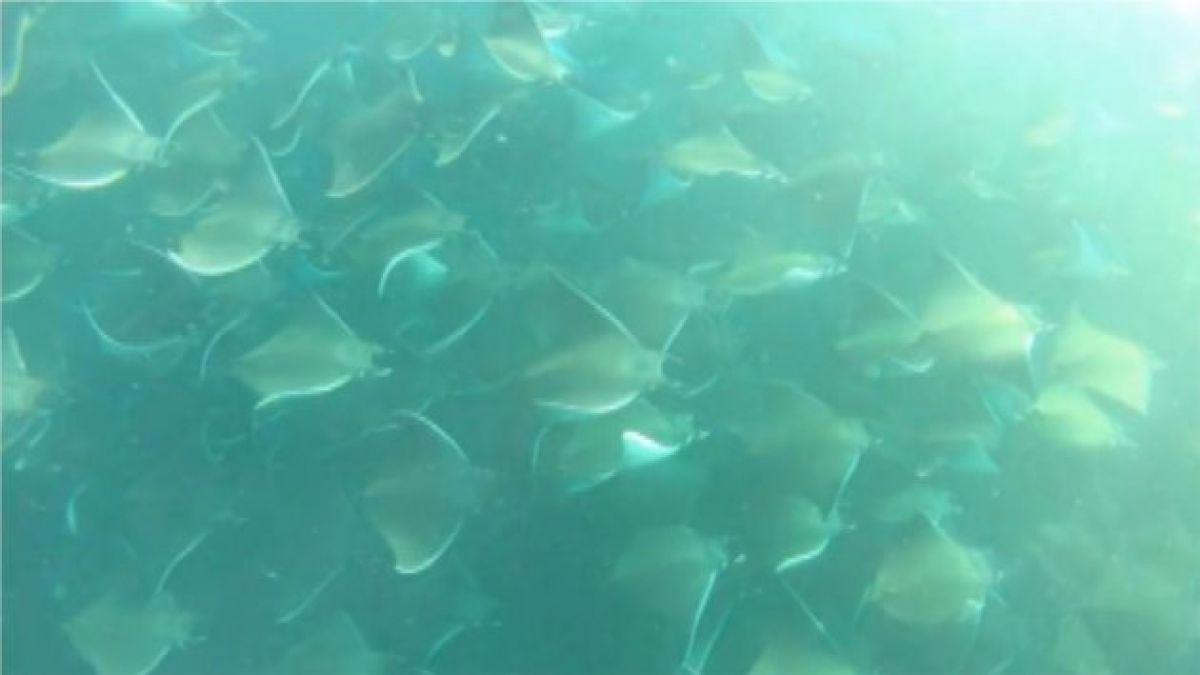 VIDEO: Así se ven 1000 manta rayas nadando en el océano