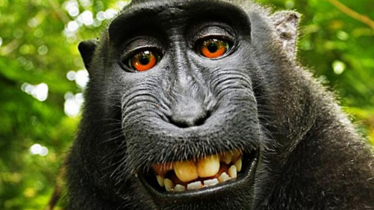 Las selfies de monos no están sujetas a derechos de autor