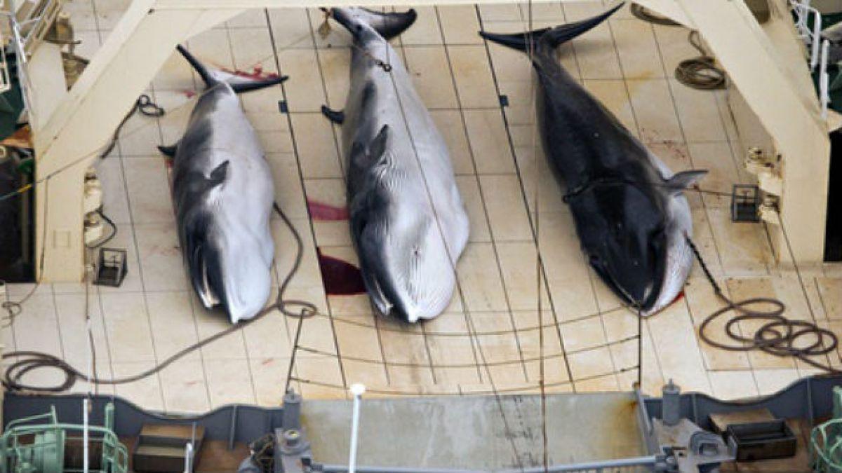 Japón vuelve a cazar ballenas luego del fallo de Corte Internacional de Justicia