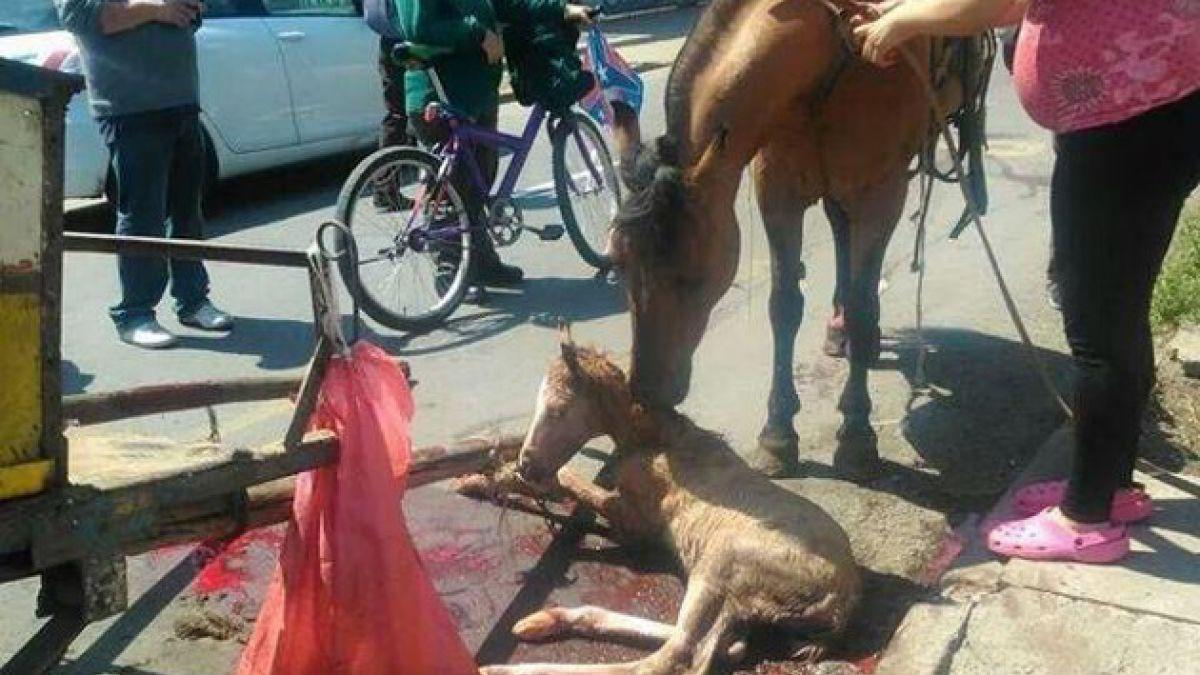 Denuncian maltrato animal en Recoleta: Yegua da a luz arrastrando carreta