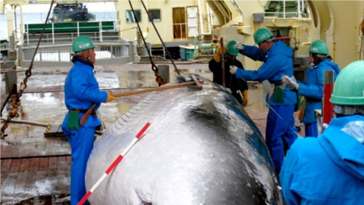 Japón anuncia fin de la caza de ballenas en la Antártica