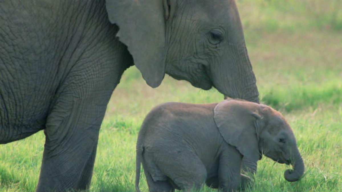 Estudio revela por qué los elefantes están muy cerca de la extinción