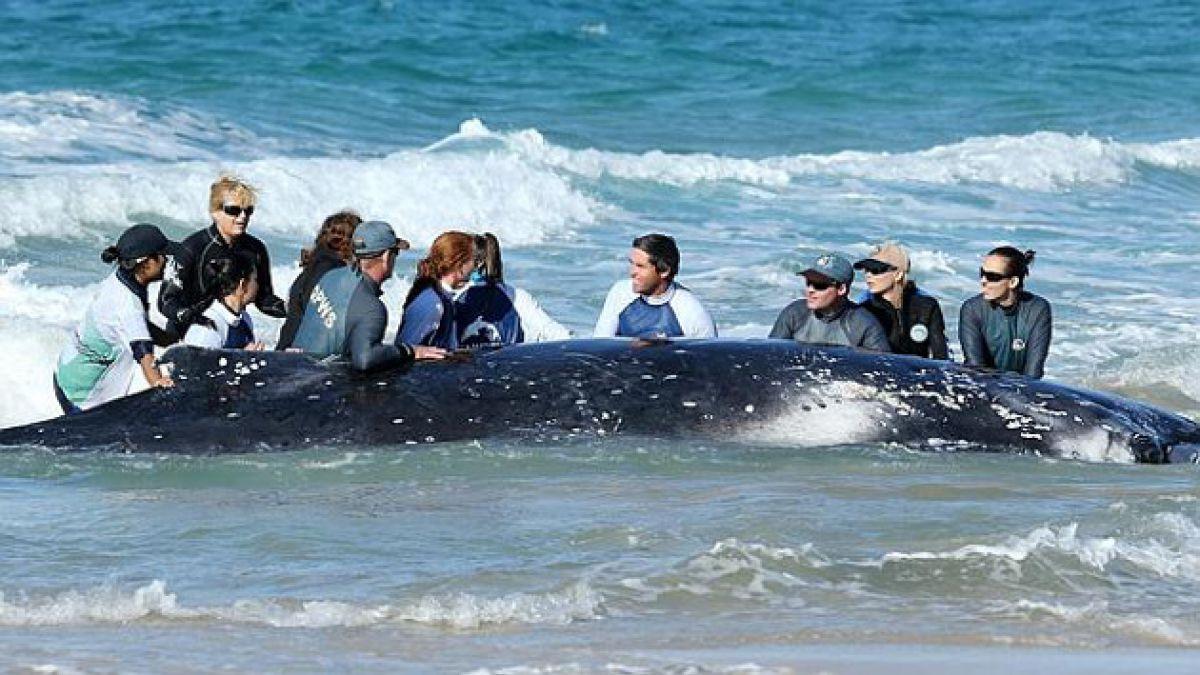 El extenso y emocionante rescate de una ballena varada en Australia