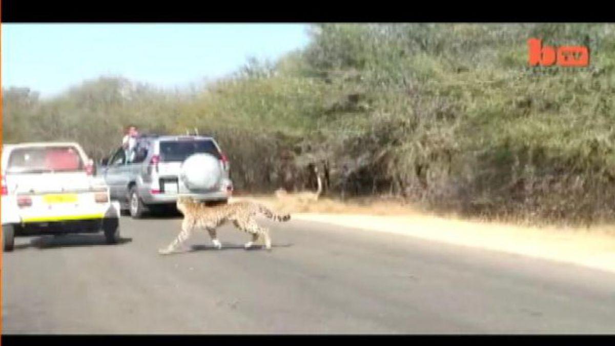 Registran a guepardos en plena caza