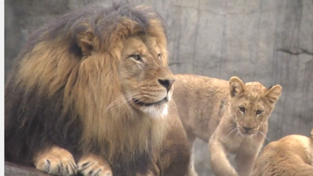 Registran primer encuentro entre león y sus cachorros
