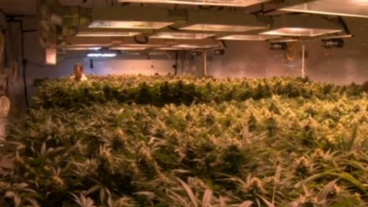 Así es el proyecto de Amplitud para permitir el autocultivo de marihuana con fines terapéuticos y re