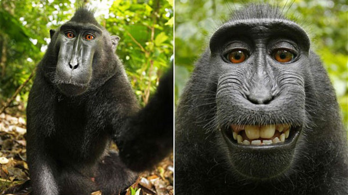 Wikipedia se niega a borrar foto alegando que su dueño es un mono