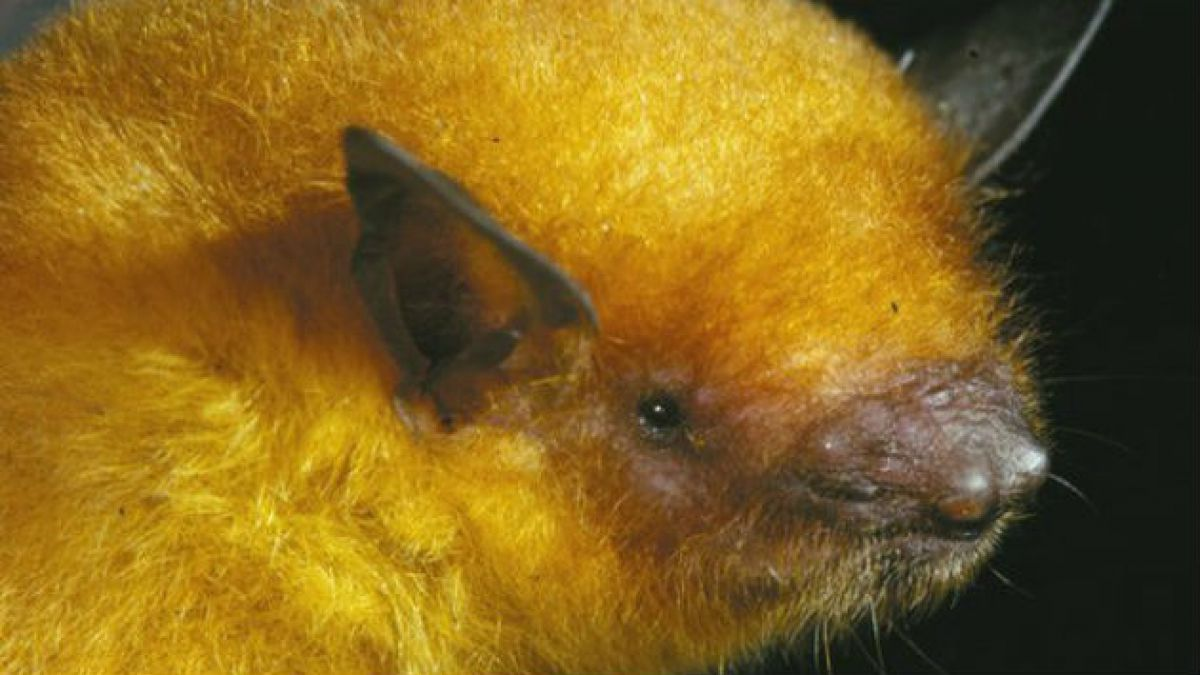 Descubren nueva especie: el murciélago dorado boliviano