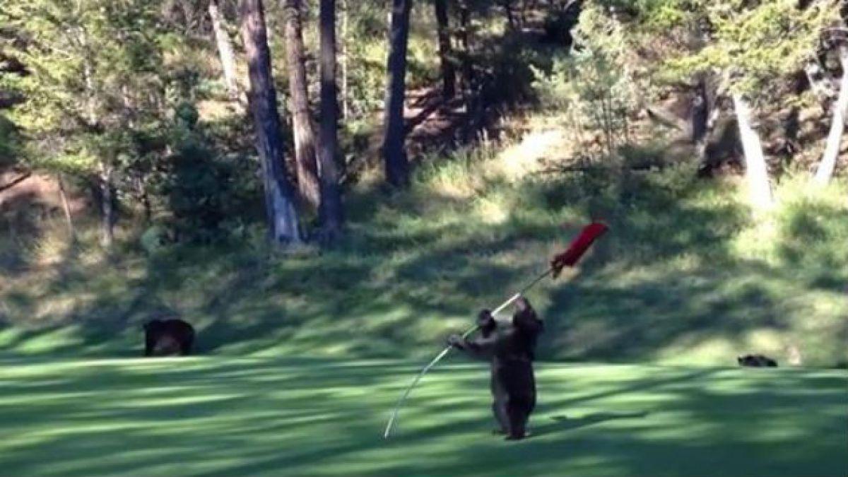 [VIDEO] Imágenes de un osezno que juega con un banderín en un campo de golf se viralizan
