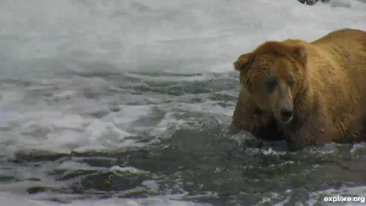 [VIDEO EN VIVO] Mira como un grupo de osos almuerzan en Alaska