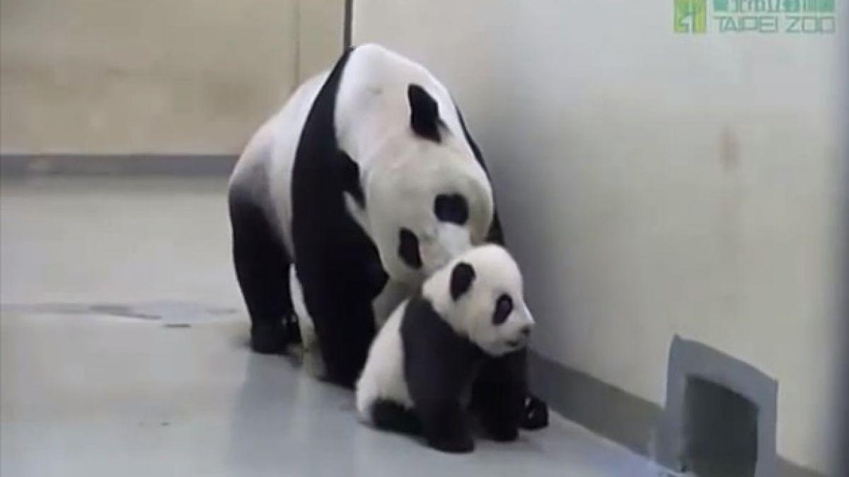 Tierno bebé panda que no quiere dormir causa furor en la web