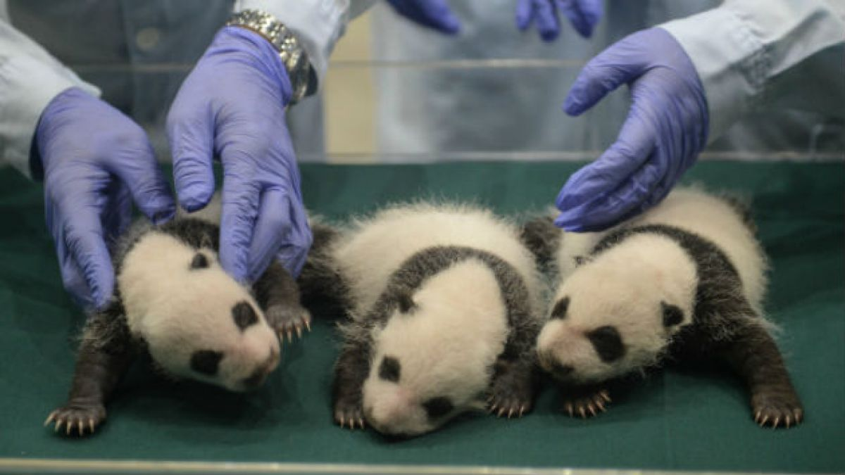 Así lucen los trillizos de oso panda gigante que nacieron hace un mes