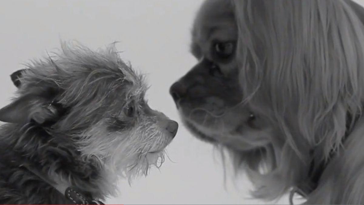 Perros protagonizan parodia de video del Primer Beso