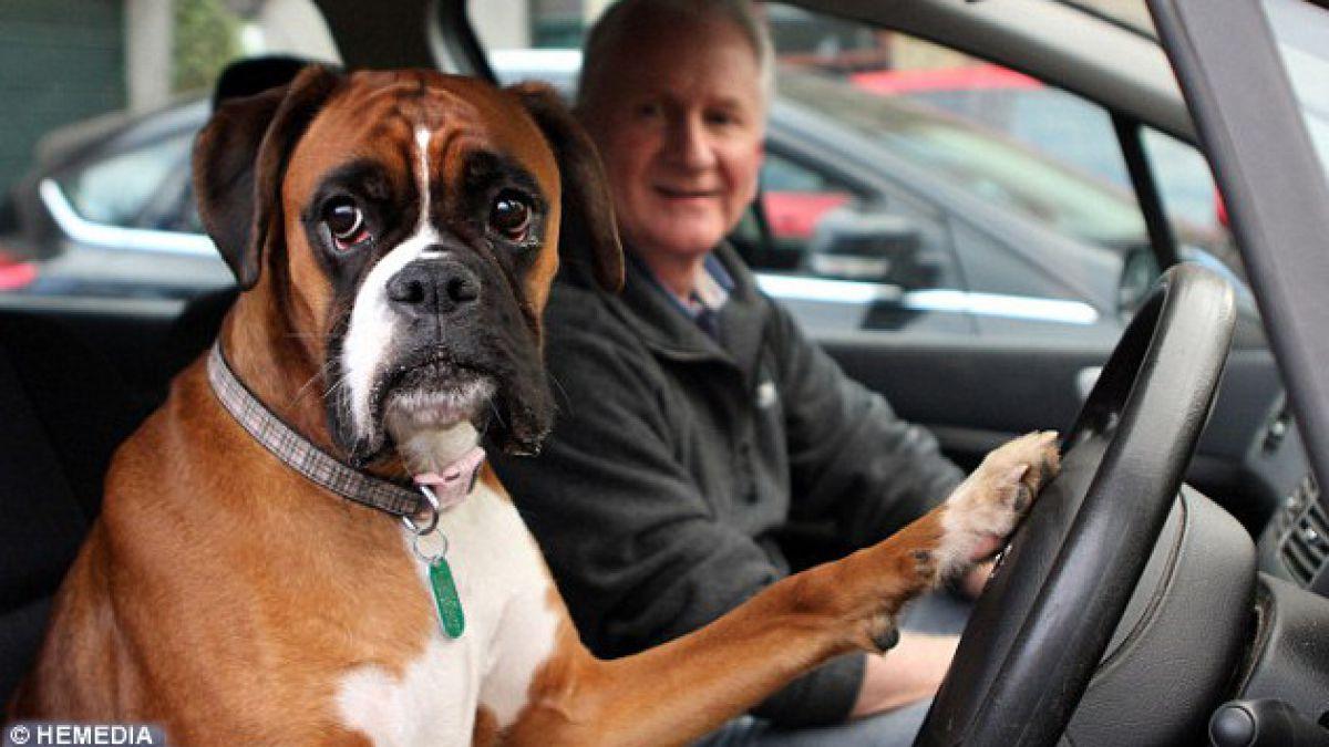 (VIDEO) Impaciente perro toca la bocina para apurar a sus dueños