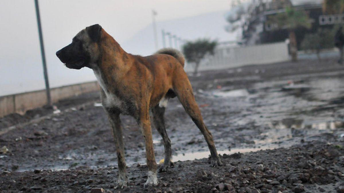 Perros callejeros: Las cifras de un problema de larga data